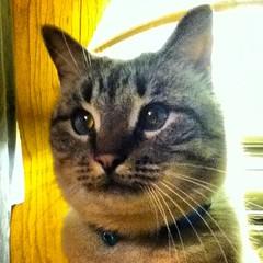 Anyone up for some catnip? #siamese #cat #cats #pet #petstagram #nature #kitten #kittens #catstagram #cutie #pets #kitty #catlovers #catsofinstagram #sweet #funpetlove #catlover #ilovemycat #ilovemypet #instapets #petsagram #picpets #instacat #love #tagst (www.todleho.com) Tags: pet cats pets love nature up animal cat for kitten anyone sweet tabby some kitty siamese kittens cutie catnip ilovemycat ilovemypet catlovers catlover instagram ifttt tagsta petsagram petstagram catstagram catsofinstagram instacat picpets instapets funpetlove