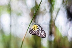 hang on tight... (Syahrel Azha Hashim) Tags: travel light detail nature colors butterfly 50mm prime leaf nikon rainforest colorful dof bokeh naturallight malaysia handheld kualalumpur shallow simple kl butterflypark d300s syahrel