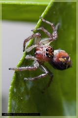 Salticidae Spider - Aranha-Saltadora (Robinson T Cunha) Tags: nikon 1001nights photosandcalendar 1001nightsmagiccity blinkagain allnaturesparadise ruby5 flickrstruereflection1
