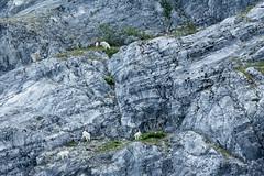 _MG_4294a (markbyzewski) Tags: alaska kids ugly mountaingoats glacierbaynationalpark