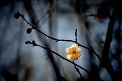 Plum  (Melinda ^..^) Tags: winter white plant flower tree branch blossom bokeh mel bloom melinda macau      chanmelmel makinon300mmf56 vision:sky=0547