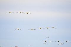 pattern (SusanCK) Tags: geese snowgeese skagitvalleywashington susancksphoto