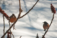 DSC_3350   Birds In Winter (Sam T (samm4mrox)) Tags: life winter red white snow tree bird nature birds grey nikon scenery d70 time nikond70 gray maine newengland digitalslr lisbonfalls elemental littlebird hopeforspring