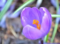 Fleetwood Gardens (careth@2012) Tags: flower closeup spring nikon blossom britishcolumbia crocus bloom unforgettableflowers thebestofunforgettableflowers d3100 nikond3100