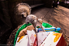 Squirrel (Nic Taylor Photography) Tags: squirrel sony fisheye samyang 8mmfisheye sonyalpha club16 samyangfisheye sonya77 sonyslta77 samyang8mmf35mcfisheye