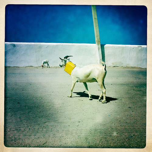 A White Goeat Wearing A Yellow Collar Is Walking On The Street, Berbera, Somaliland
