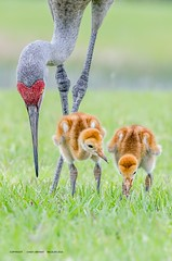 Trio (Flickrtographer) Tags: wild bird nature birds bug backyard raw feeding crane wildlife feathers naturallight colts trio colt sandhillcrane wildlifephotographer hatching hatchling plumage beaks babybirds babyanimals wadingbirds floridabirds backyardbirding cindybryant sigma150500mm sandhillcranecolt nikond7000 photocontesttnc11 birdstnc11 cindybryantphotography photocontesttnc12 flickrtographer photoofthedaynwf12 cindyjbryant photocontesttnc13 photocontestnwf12