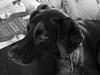 Ein treuer Kamerad :) (borntobewild1946) Tags: bw dog buddy hund sw schwarzweiss jacky rüde treu brav lieb deutschkurzhaar maledog kamerad copyrightbyberndloosborntobewild1946