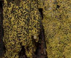 Crawling on the Pretzel Slime Mold (Bonnie Ott) Tags: frederickcounty frederickcountywatershed catoctin pretzelslimemold hemitrichiaserpula slimemold fungus bonniecoatesott