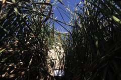 6770 Robert Meese wades into cattails to count nesting Tricolored Blackbirds at Conaway Ranch_June 24 2015 (sylvialwright) Tags: birds conservation ucdavis endangeredspecies wildbirds tricoloredblackbird universityofcaliforniadavis scientificresearch robertmeese