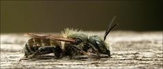 Nomada Bee ? (DebbieH82) Tags: lincolnshire bee redhill 100mmmacro nomadabee canoneos7dmk2 260615redhill