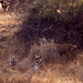 Tigers (Panthera tigris) in the grass : female with 2 youngs