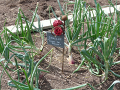 Shallots - Cuisse de Poulet, Lower Lovetts Farm (karenblakeman) Tags: uk food vegetables reading july shallots berkshire knowlhill 2015 cuissedepoulet organickitchengarden readingfoodgrowingnetwork rfgn lowerlovettsfarm