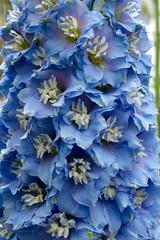 Delphinium elatum cultivar (Eric Hunt.) Tags: blue white flower eye spot ranunculaceae striped powderblue delphiniumelatum