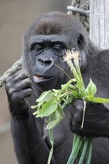 03-12-2016-taronga 724 (tdierikx) Tags: 03122016taronga tarongazoo taronga tdierikx gorilla mbeli