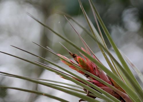Cardinal Airplant (Tillandsia fasciculata)