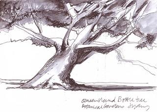 Bottle Tree - Brachychiton rupestris