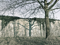 (Bart K. Prins) Tags: panasonic lumix dmclx7 tree shadow ivy