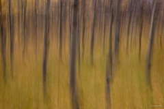 Aspen Motion Blur (madrones) Tags: abstract aspen blurredmotion fallcolor fallfoliage landscape nature tree trees leevining ca usa us