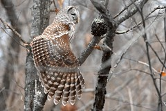 Barred Owl (Steve Liffmann) Tags: barred owl