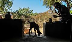 IMG_5606 (Manveer Jarosz) Tags: bharat falifalahamlet hindustan india nichlibirothivillage odazone rajasthan sevamandir udaipur eating elder farmer goat hut people silhouette sitting village villager