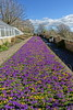 Conservatory flower bed (Sparky the Neon Cat) Tags: europe united kingdom uk great britain gb england northumberland wallington walled garden crocus purple ruby giant flower yellow aconite bed conservatory