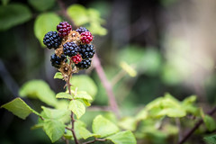 Blackberry (leoleamunoz) Tags: blackberry mora fruta yerba arbusto naturaleza nature fruit