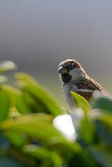 Moineau Domestique _ Passer domesticus (MARTIN FRED) Tags: passer domesticus moineau domestique oiseaux familier nikond800 sigma150600sport graine mangeoir jardin