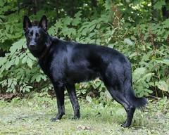 Trigger (anniegutierrez) Tags: trigger germanshepherd dog dogs canine northwoods wisconsin