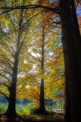 Backlit Autumn Metasequoia (aeschylus18917) Tags: danielruyle aeschylus18917 danruyle druyle ダニエルルール japan 日本 nature tokyo 東京 nerima 練馬区 石神井公園 shakujiikōen 28300mm orton deciduous tree redwood cupressaceae sequoioideae メタセコイア metasequoia 杉 スギ dawnredwood metasequoiaglyptostroboides backlit autumn fall 秋 pxt