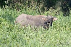 Water Buffalo (Jay Packer) Tags: malaysia eutheria domesticated mammalia animalia asia vertebrata borneo chordata amniota tetrapoda synapsida waterbuffalo location bovidae artiodactyla animals bubalusbubalis placentalia placentals
