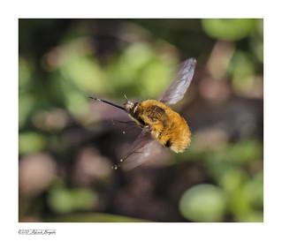 Bee-fly in flight