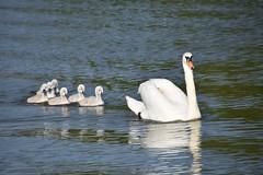 Mother swan with baby's (2AnNa3) Tags: summer zomer zwemmen swimming zwaan zwanen babys swan moeder mother