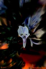 The Scream (ironmember) Tags: scream thescream urlo lurlo maschera viso deformità deforme volto voltodistorto distorsione distorsioneimmagine fiore fioredirosmarino rosmarino rosemary macro raw postproduzione nophotoshop noflash allaperto pianta piantainvaso vasodirosmarino contrastocolore capolavoro madeiphoto