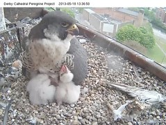 May 18th 13.36 (HelenSara) Tags: falcon chicks brooding derby peregrine