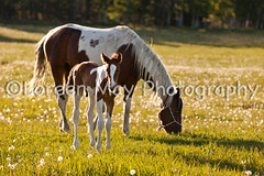 Foal and Mom Grazing (Loreen May Photography /a year behind!) Tags: horse baby brown white grass evening alberta fields colt dandelions graze foal