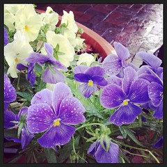 Pansies in the rain (Samantha Evans of TSI Photography) Tags: instagramapp square squareformat iphoneography uploaded:by=instagram xproii pansies flower flowers plant pansy flowerpot street cobblestone purple yellow green raindrops water marietta mariettaga mariettasquare ga iphonetography iphone instagram