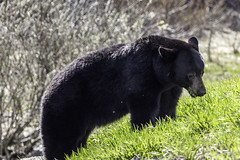 Having an afternoon snack (begineerphotos) Tags: bear grass canon alberta blackbear banffnationalpark