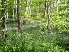 Penrhyn Coch Woods, Ceredigion, West Wales (DG Jones) Tags: beautiful bluebells wales rural forest landscape woods westwales sunny trunks ceredigion sylvan dyfed penrhyn penryncoch