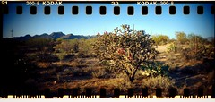 (K e v i n) Tags: arizona southwest film analog cacti 35mm lomography dirtroad sonorandesert cholla sprockets marana sprocketholes kodakcolorplus200 tortolitas tortolitamountains sprocketrocket