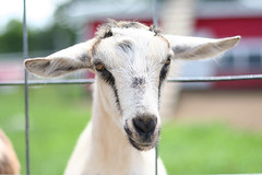 (Hadoland) Tags: canon 350d 50mm michigan goat orchard romeo westview