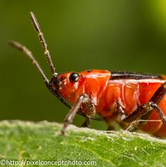 DO9C2584 (Pixel Concept Photography) Tags: macro canon insect idplease beetle nymph assassinbug assassin coyotehills boxelder ebrpd mpe65mm rhopalidae boisea boiseatrivittata 5dmk3 ebparksok serinethinae