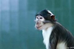 Singe du Zoo de Barcelone (Sergio66D) Tags: espagne barcelone singe catalogne zoodebarcelone