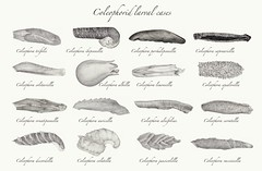 Coleophorid larval cases (Franziska Bauer) Tags: pencil sketch drawing case lepidoptera scientificillustration microlepidoptera larvalcase coleophoridae coleophora casebearer wildlifeillustration casetype