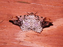 Moth 2 - Family Geometridae (Dis da fi we) Tags: moth puntagorda toledo belize hickateebelize hickateepuntagorda jungle rainforest forest wildlife culture geometridae cottages hickatee
