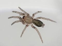 Young Herpyllus ecclesiasticus (Small Creatures) Tags: parsonspider herpyllusecclesiasticus bellhowell herpyllus increlite