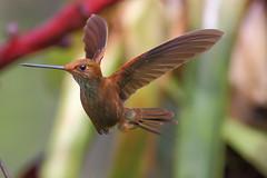 Colibr XVII (Jos M. Arboleda) Tags: bird canon eos colombia hummingbird jose ave 5d colibr arboleda markiii trochilidae coconuco apodiforme josmarboledac ef400mmf56lusm14x troquilinos