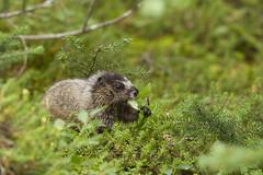 Hoary Marmot (galexon) Tags: canada animals jasper wildlife alberta mammals marmots galexon glennalexon
