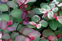 They're Just Leaves (Aunt Teena) Tags: flowers red green leaves arboretum reevesreedarboretum