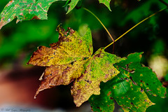 _MG_8961 (Bill Gagne Photography) Tags: autumn color colors canon bokeh fallcolors autumncolors canonef135mmf2lusm vsco billsphotos canoneos5dmkll vscopresets billgagnephotography